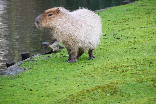 Capybara Gris Debout Sur Un Champ D'herbe Verte à Côté De L'eau Photo gratuit