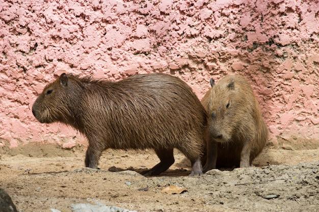 Capybara Photo Premium