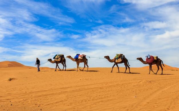 Caravane de chameaux dans le désert du sahara, maroc Photo Premium