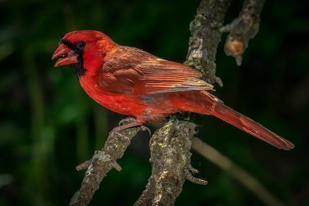 Cardinal Du Nord (cardinalis Cardinalis Photo gratuit