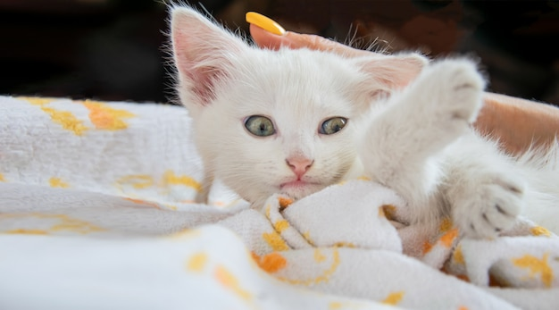 Caresser Un Chaton Blanc Mignon Qui Se Détend Sur Un Plaid à La Maison Photo Premium