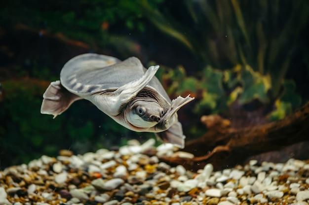 Carettochelys Insculpta. La Joyeuse Tortue Nage Sous L'eau. Animaux Drôles. Photo Premium