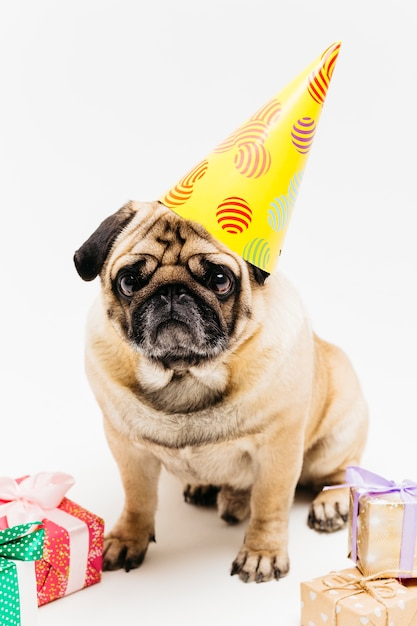 Carlin mignon mélancolique dans un chapeau de fête entouré de cadeaux Photo gratuit