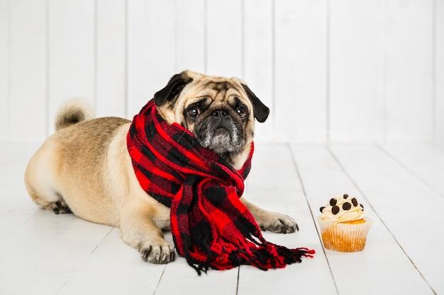 Carlin mignon portant une écharpe à carreaux près de cupcake Photo gratuit