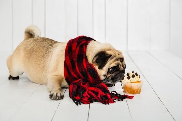 Carlin mignon portant une écharpe à carreaux reniflant un petit gâteau Photo gratuit
