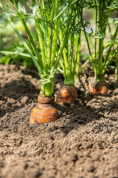 Des carottes biologiques faites maison poussent dans le jardin. mise au point sélective. Photo Premium