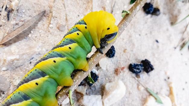 Caterpillar acherontia atropos, faucon à tête de mort, trouvé sur la côte méditerranéenne sur un arbre Photo Premium