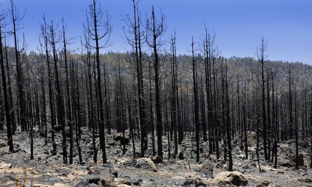 Cendres noires de pin canari après un incendie de forêt à teide Photo Premium