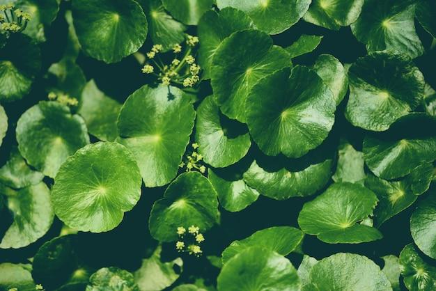 Centella asiatica laisse une plante médicinale verte dans le jardin Photo Premium