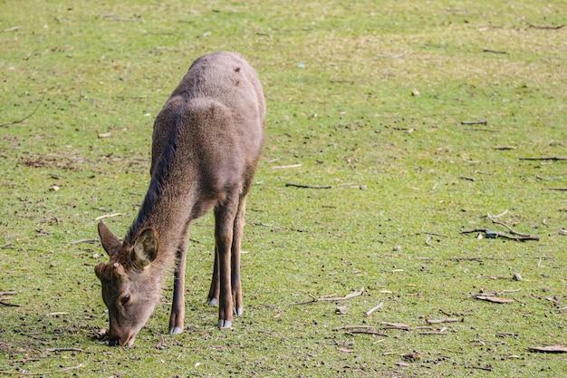 Cerf mignon sympathique sauvage japonais, manger de l'herbe sèche. Photo Premium