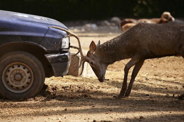 Cerf se battant avec une voiture, combat de puissance Photo Premium