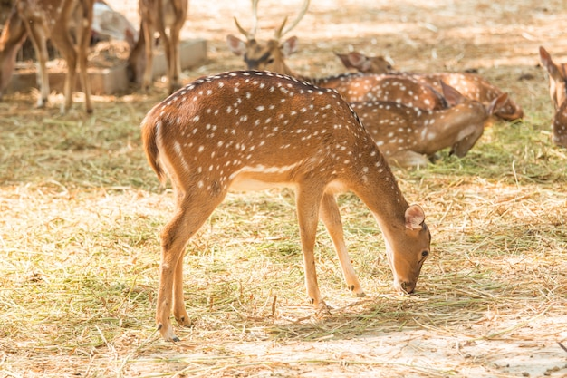 Cerfs Au Zoo Se Bouchent Photo Premium