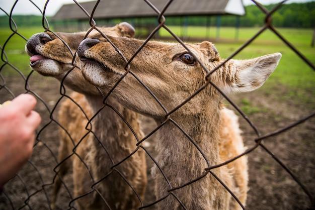 Cerfs Avec Langue Près De La Clôture Photo Premium