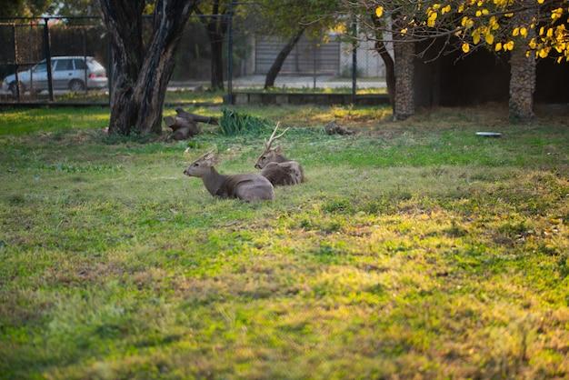 Les Cerfs Sont Assis Et Se Reposent Dans Le Parc Du Zoo. Photo Premium