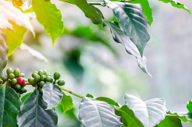Cerise de café fraîche sur le caféier Photo Premium