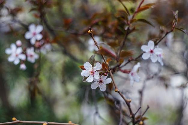 Cerisier en fleurs Photo Premium
