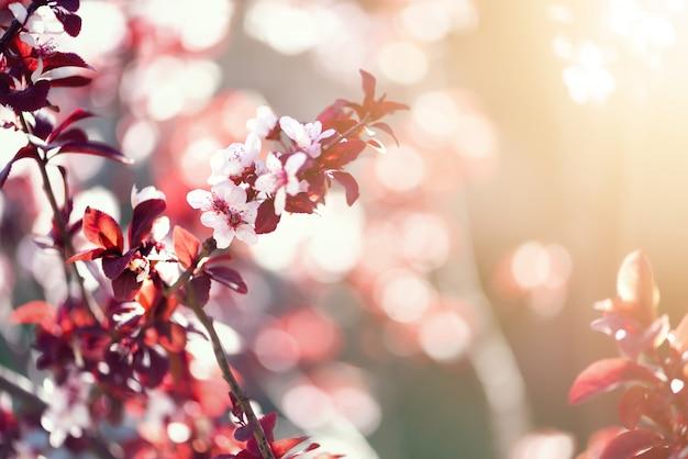 Cerisier japonais en fleurs. fleurs de sakura en fleurs. Photo Premium