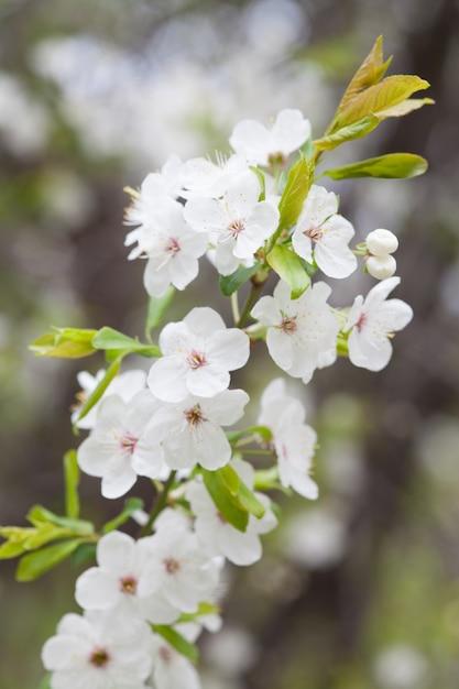 Cerisiers en fleurs sur fond de nature floue. fleurs de printemps. fond de printemps avec bokeh Photo Premium