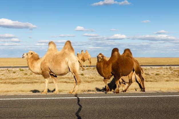 Chameau dans le désert de gobi, mongolie intérieure Photo Premium