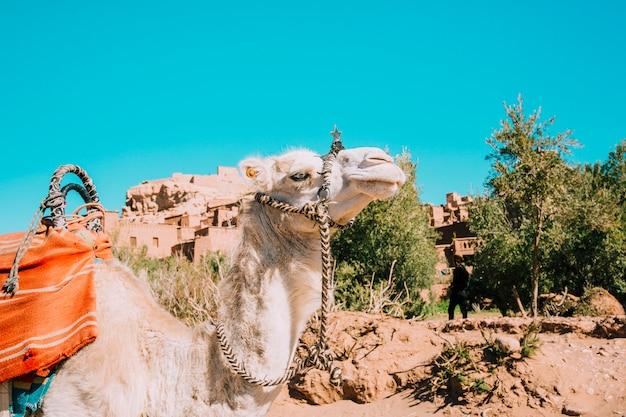 Chameau dans le désert Photo gratuit