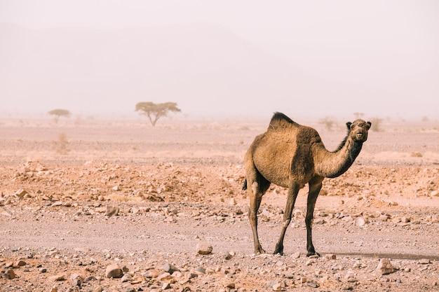 Chameau dans un paysage désertique au maroc Photo gratuit