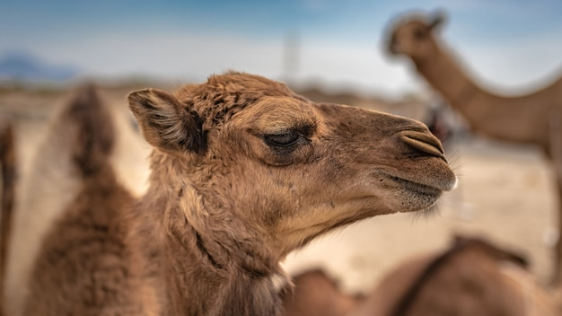 Chameau, désert chaud Photo Premium