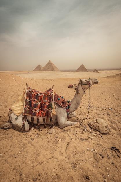 Un chameau avec fond de pyramides à giza Photo Premium