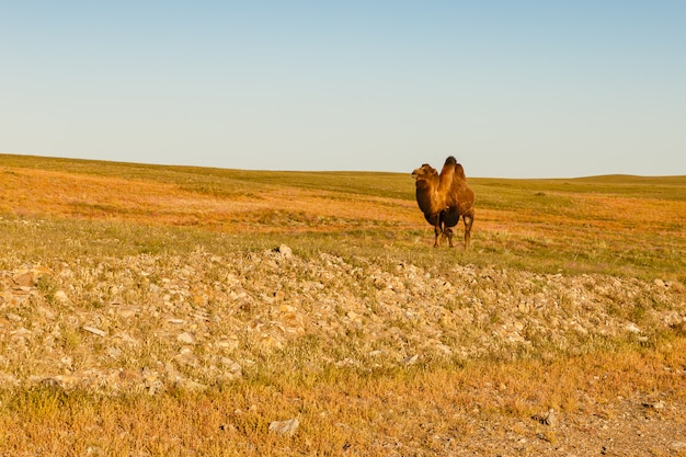 Un Chameau Marche Dans Le Désert De Gobi Photo Premium