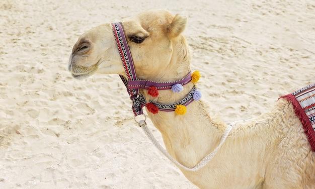 Chameau sur la plage de dubaï Photo Premium