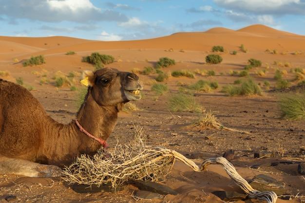 Chameau se trouve dans le désert du sahara Photo Premium