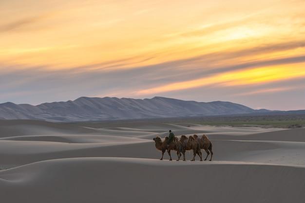 Chameau traversant les dunes de sable au lever du soleil Photo Premium