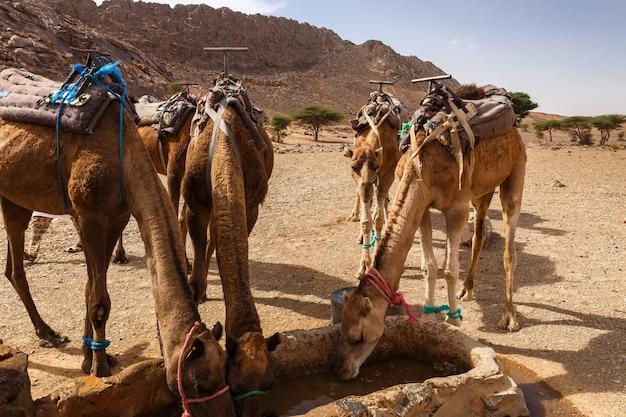 Les chameaux boivent de l'eau du puits Photo Premium