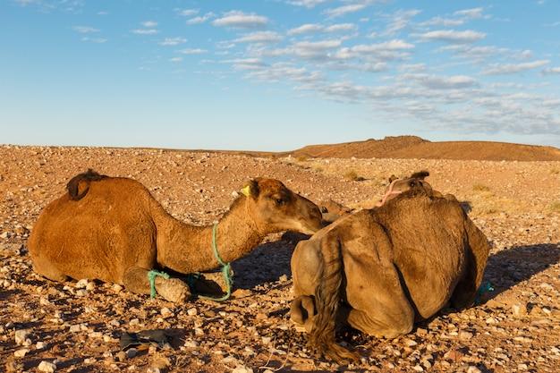 Chameaux dans le désert Photo Premium