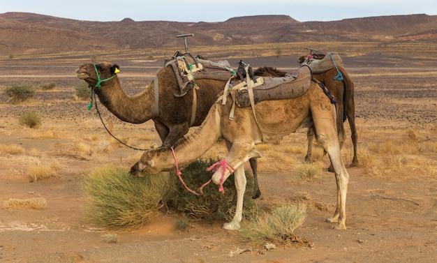Chameaux mangeant de l'herbe dans le désert du sahara, maroc Photo Premium