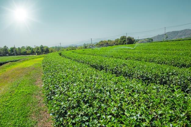 Champ D'agriculture De Thé Vert à Chiangrai Au Nord De La Thaïlande Photo Premium