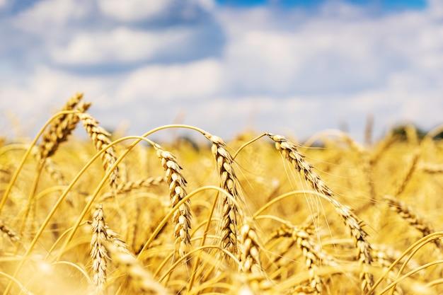 Champ de blé au ciel et nuages Photo Premium