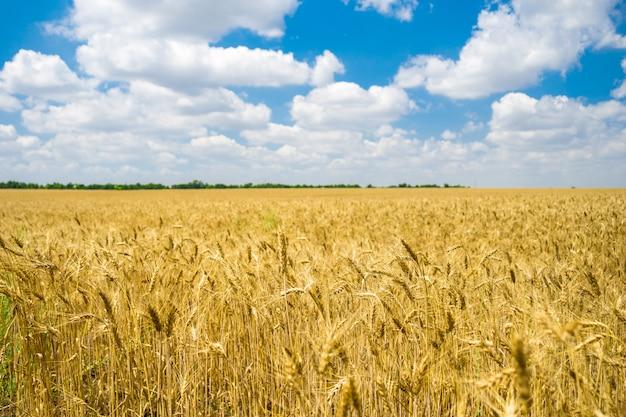 Champ de blé doré prêt pour la récolte avec un ciel bleu Photo Premium