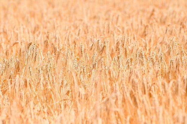 Champ de blé. gros plan de blé doré. paysage rural sous la lumière du soleil. Photo Premium
