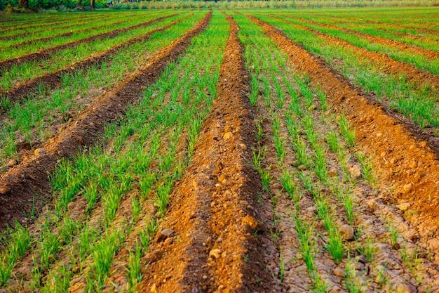 Champ de blé indien Photo Premium