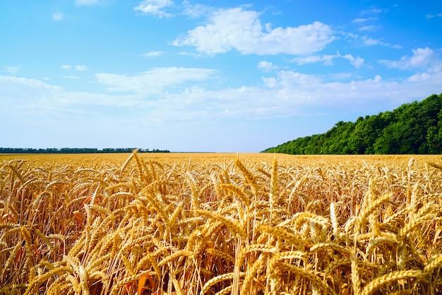 Champ de blé avec des oreilles dorées sur le ciel bleu. Photo Premium