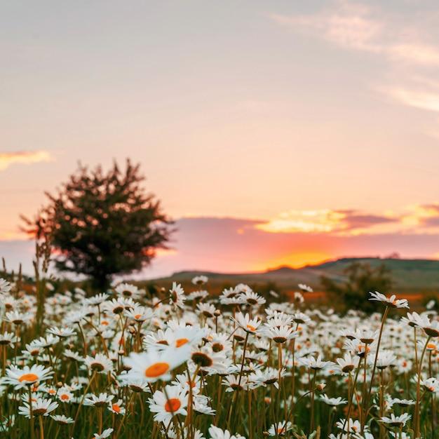 Champ de camomille au coucher du soleil Photo Premium