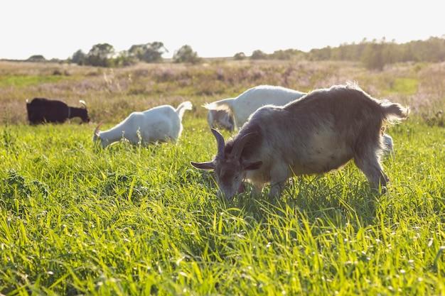 Champ avec des chèvres mangeant à la ferme Photo gratuit