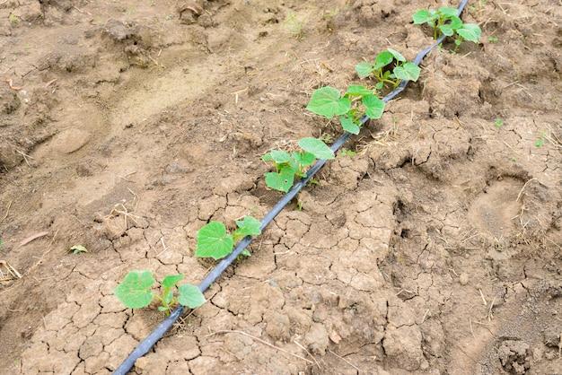 Champ de concombre poussant avec un système d'irrigation goutte à goutte. Photo Premium