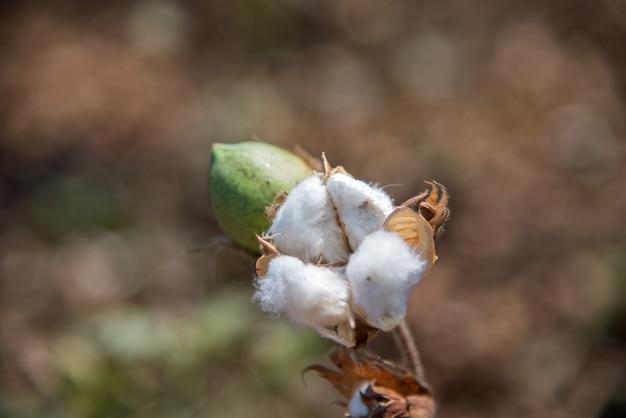 Champ De Coton, Gros Plan De Boules De Coton Et De Fleurs. Photo Premium