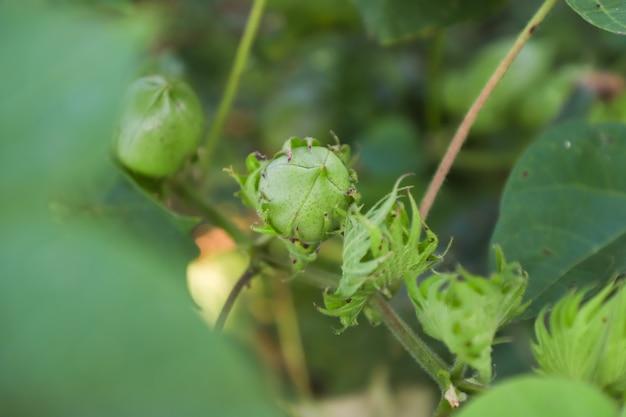 Champ de coton vert en inde Photo Premium