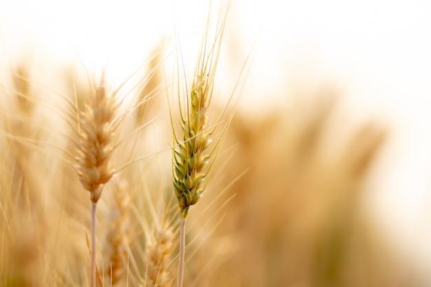 Champ de culture de blé. Photo Premium