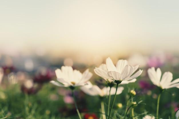 Champ de fleur cosmos Photo Premium