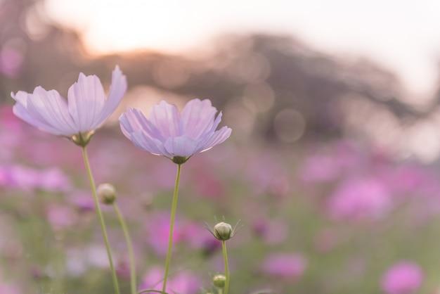 Champ de fleurs de cosmos qui fleurit au printemps. Photo Premium
