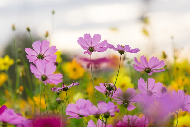 Champ de fleurs cosmos Photo Premium