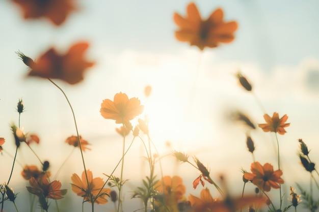 Champ de fleurs du cosmos Photo gratuit
